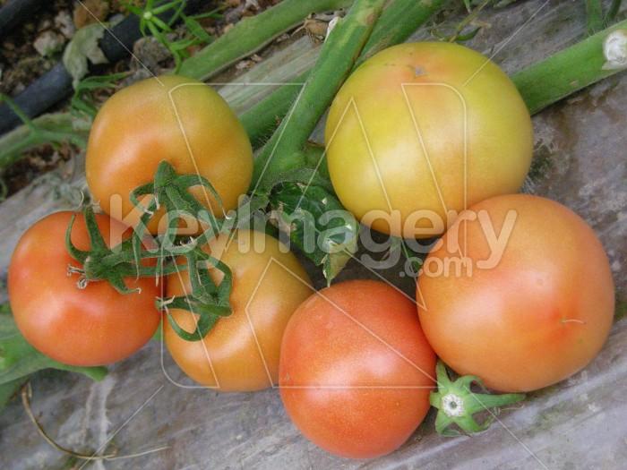 Tomatoes Photo #6900
