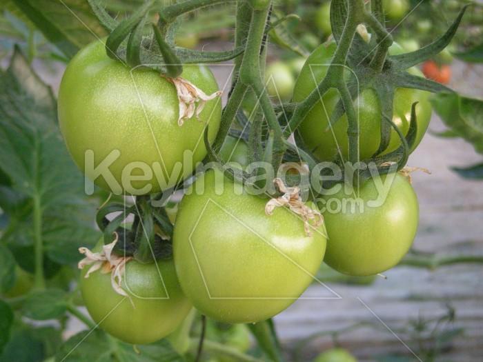 Tomatos Photo #6808