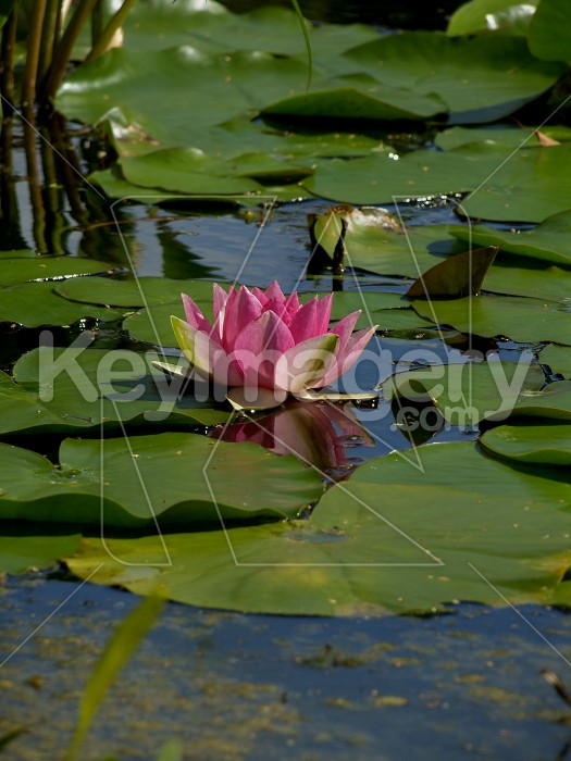 Water Lily Photo #6182