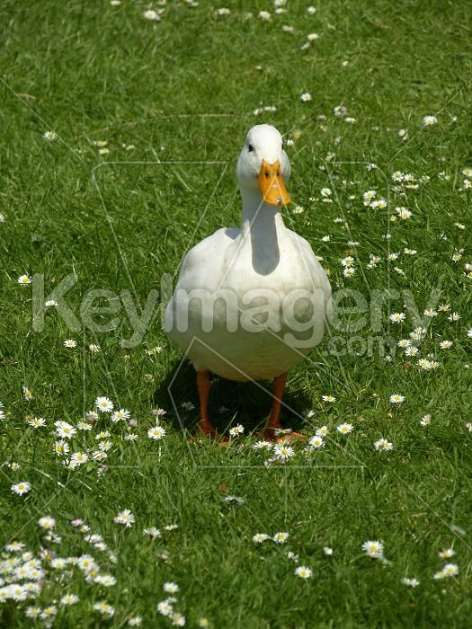 White Duck Photo #6163