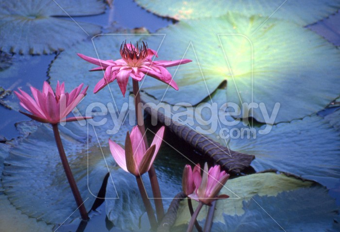 Lotus blossom searches for the light Photo #7748