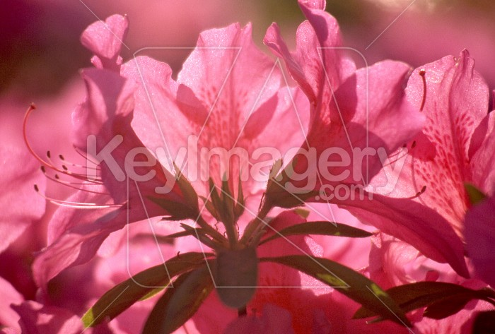 Spring Azalea (Rhododendron, pentanthera) Photo #7900