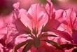 Spring Azalea (Rhododendron, pentanthera)