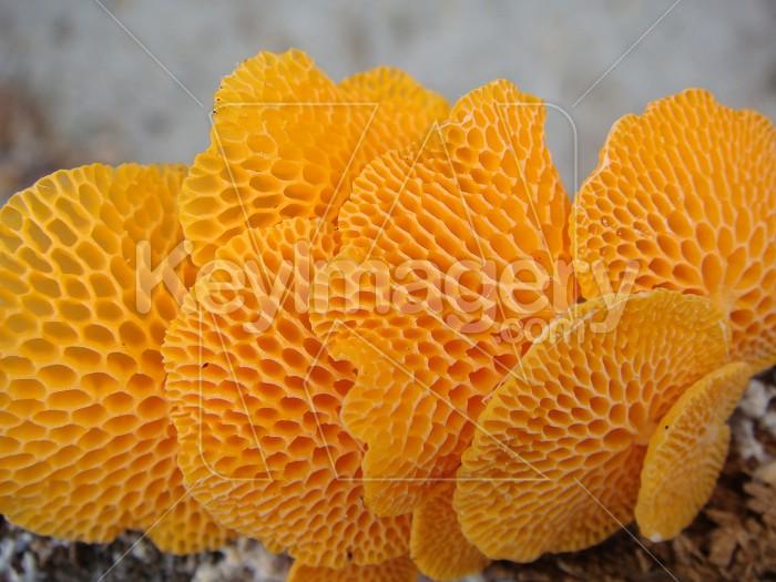 Orange pore fungi#2 Photo #12240