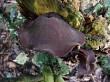 Auricularia cornea