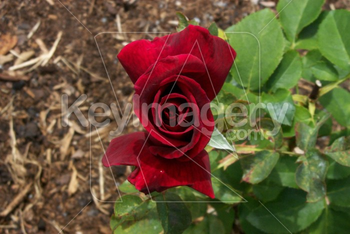 3D Red Rose Photo #12002