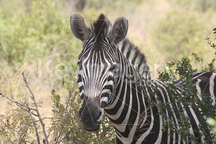 Burchells Zebra between bushes Photo #12145