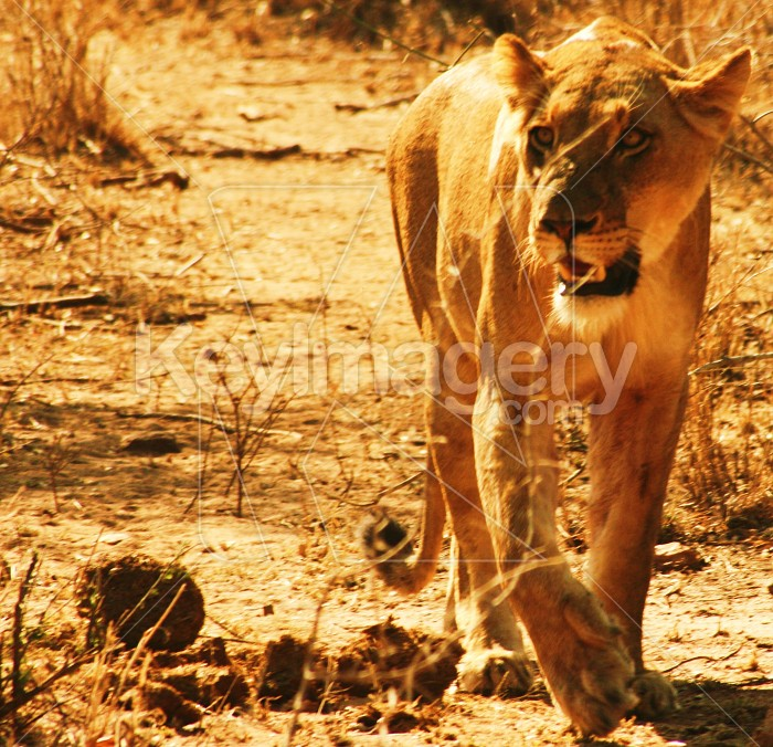 Lioness Photo #12141