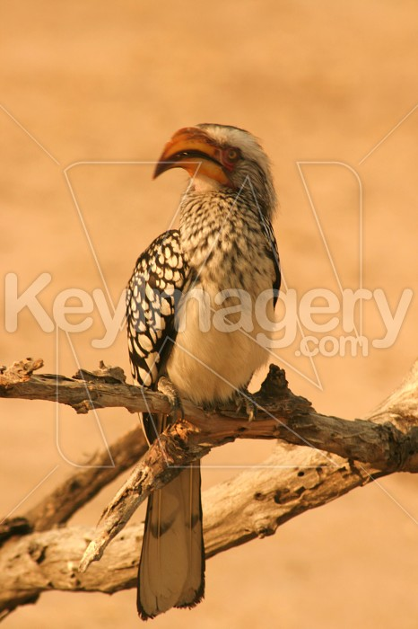 Southern Yellow-Billed Hornbill Photo #12136