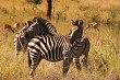 Burchells Zebra with Impala inthe back ground