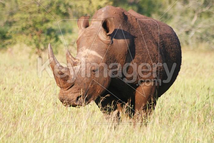 White Rhino Photo #12138