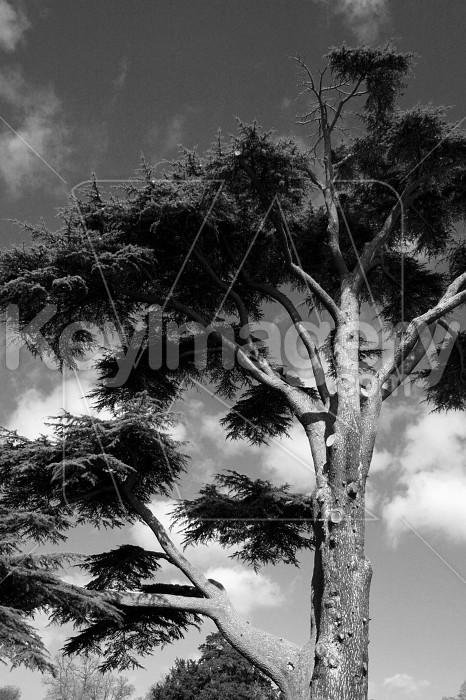 Fir tree Photo #12255