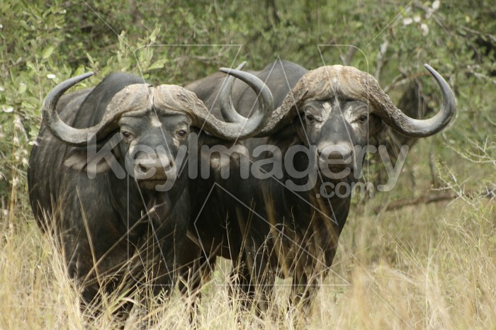 Buffalo Soldiers Photo #12896
