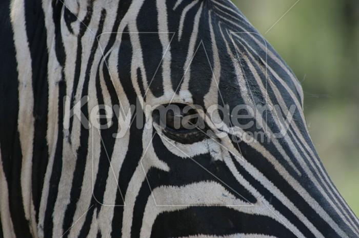 In the Eye of the Zebra Photo #12898