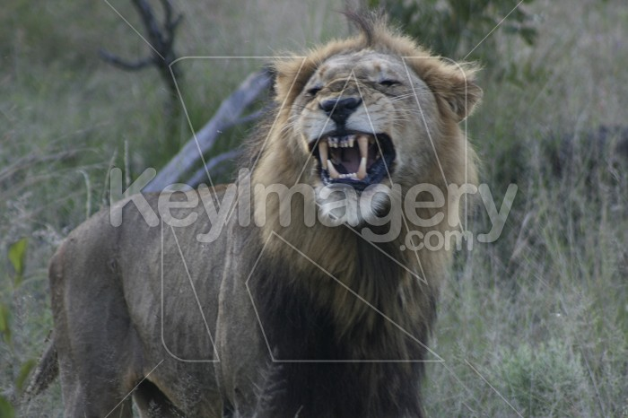 Lion Growling Photo #12897