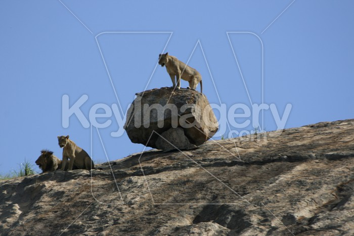 Lioness on Rock Photo #12905
