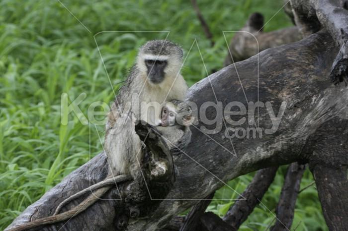 Vervet Monkey Mother & Child Photo #12902