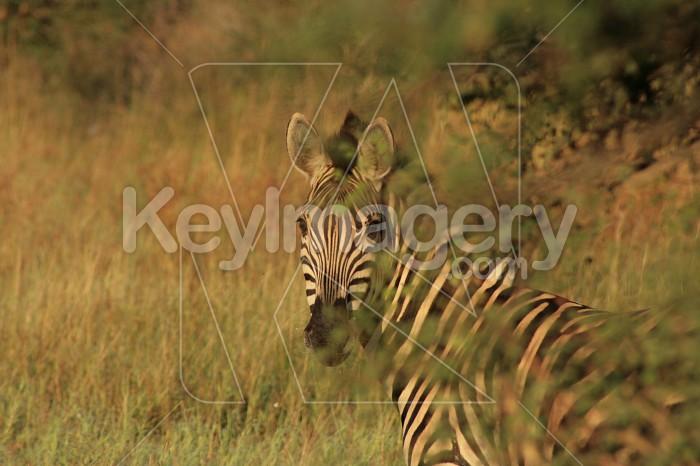 Zebra behind branches Photo #12895