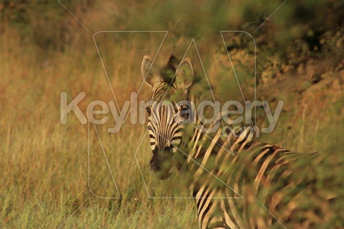 Zebra behind branches Photo #12895