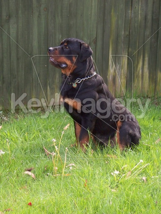Full attention from Rottweiler Photo #12893