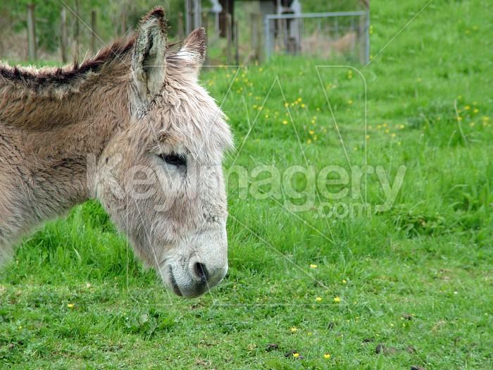 A donkey head Photo #4706