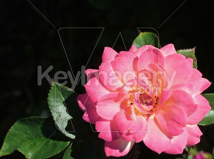 A miniature rose Photo #614