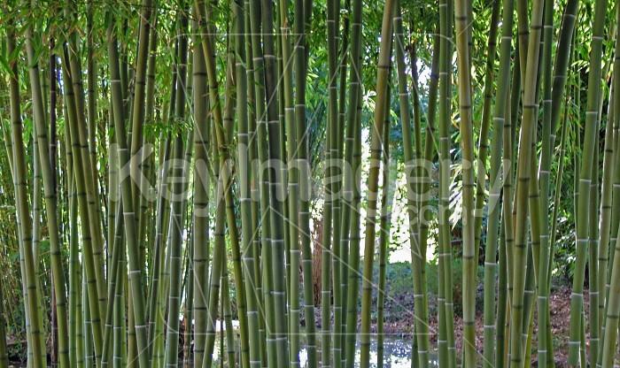 bamboo Photo #895