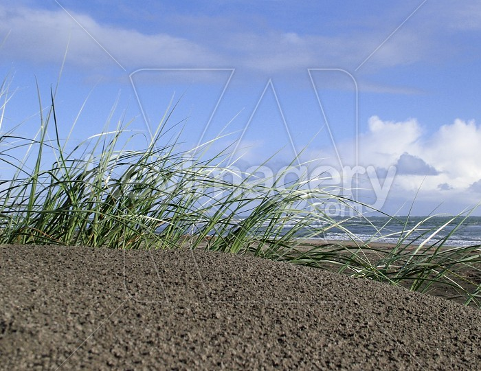 beach grass Photo #2290