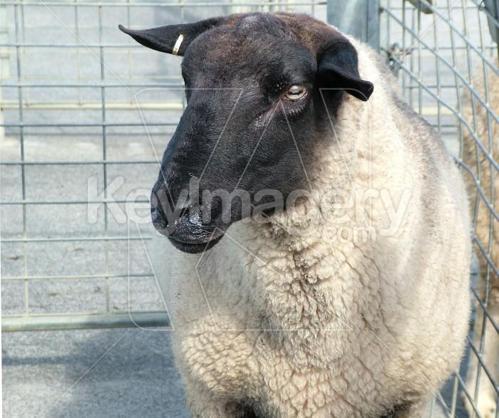 black faced sheep Photo #866