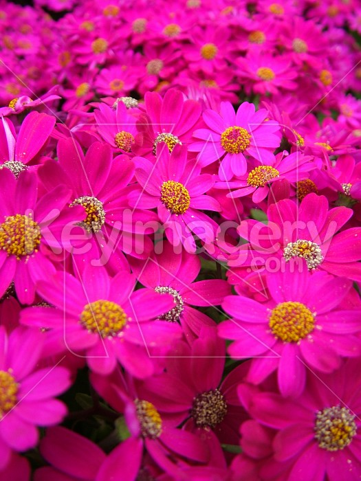 bright pink flowers Photo #4375