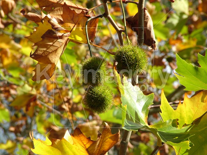 chestnuts in tree Photo #1582