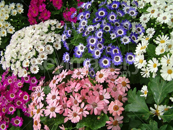 colourful cineraria flowers Photo #4336