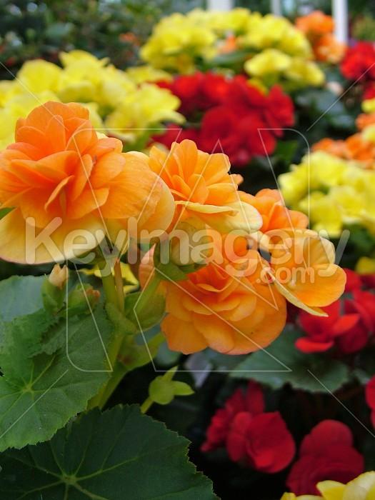 Colourful orange Begonia Photo #4404