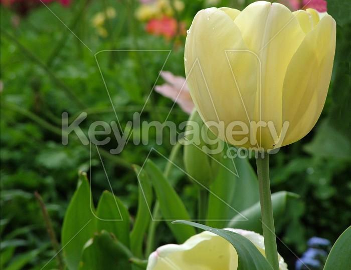 cream tulip Photo #4341
