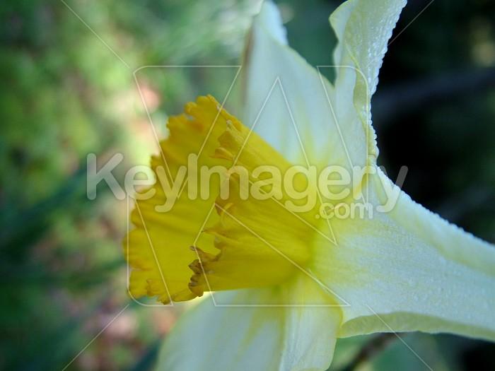 daffodil side on Photo #4226