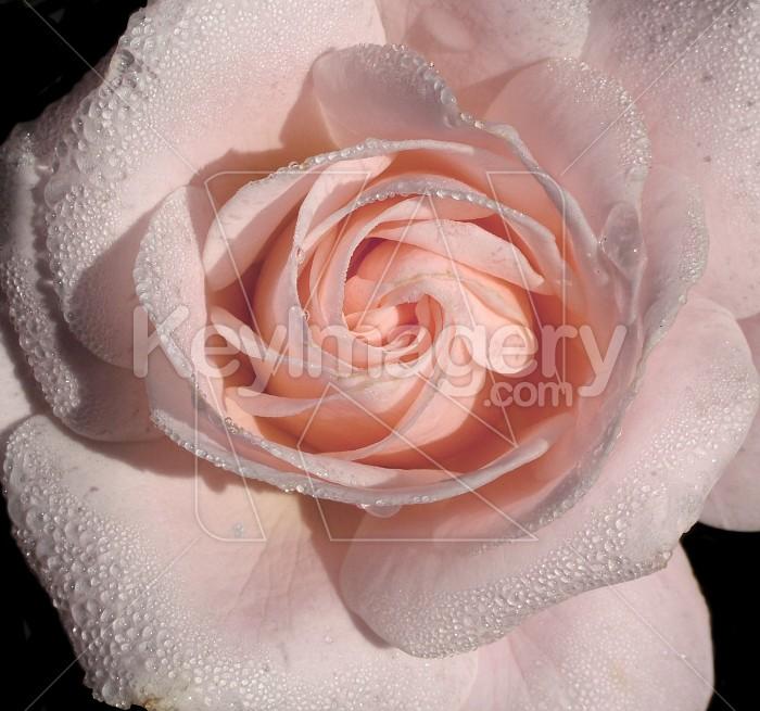 dew on rose Photo #1766