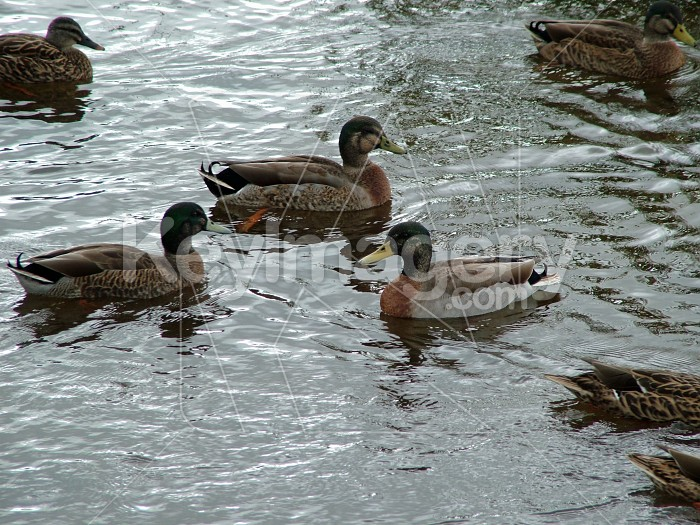 Ducks on the water Photo #774