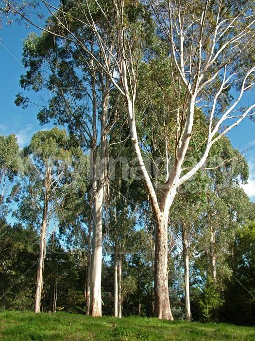 Eucalyptus trees Photo #933