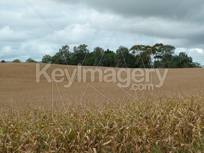 field of corn Photo #891