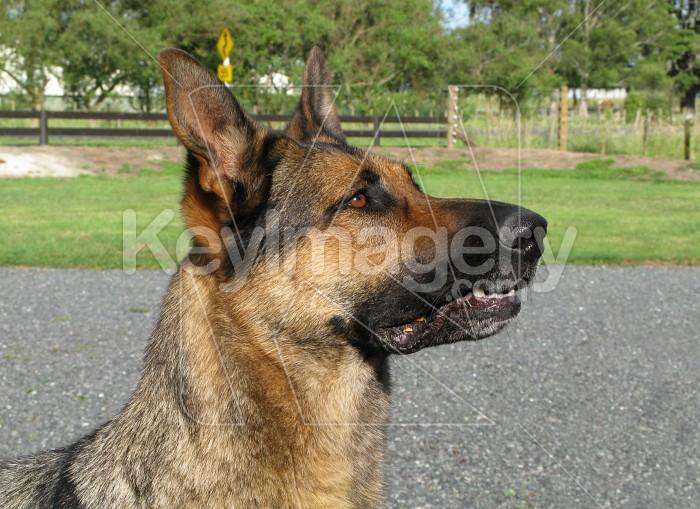 German shepard Photo #6206