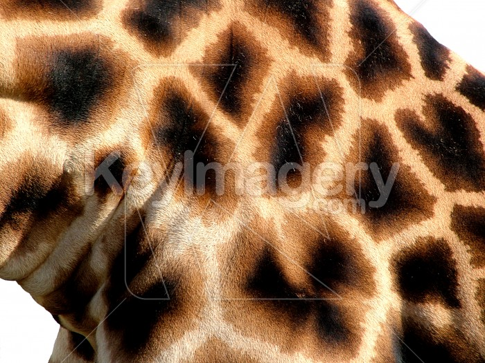 giraffe close up Photo #1606