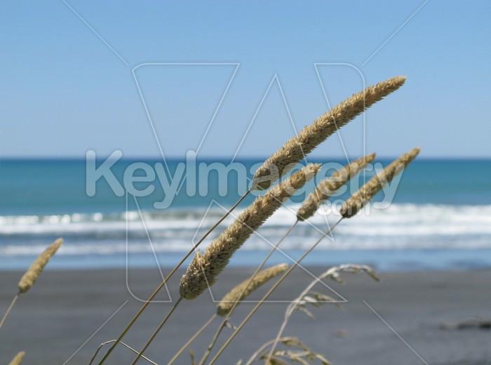 Grasses at the beach Photo #6408