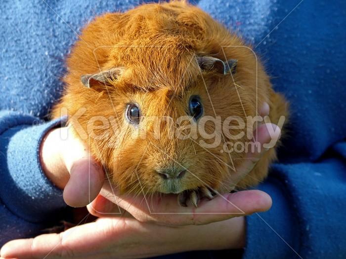 guinea pig Photo #1515