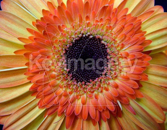 heart of a gerbera Photo #4213