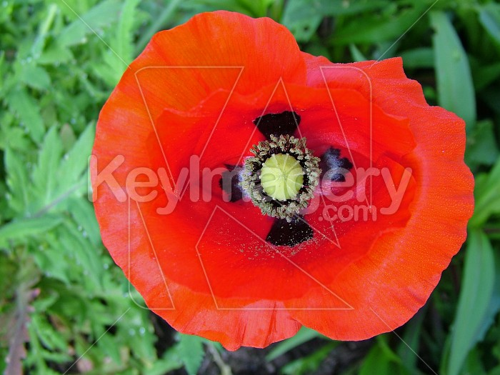 heart of red poppy Photo #4295