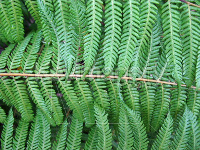 Interlocking fern Photo #12676