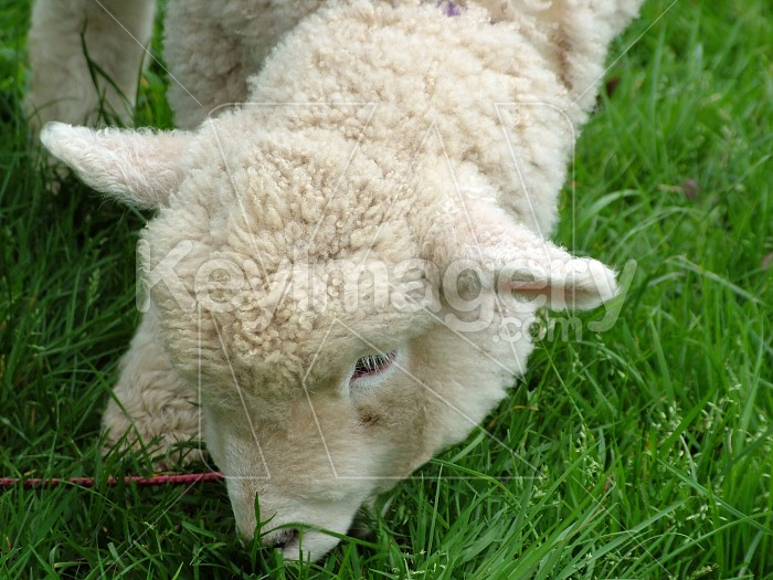 Lamb eating grass Photo #4709
