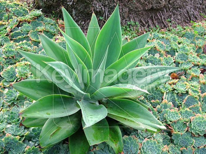 large succulent Photo #740