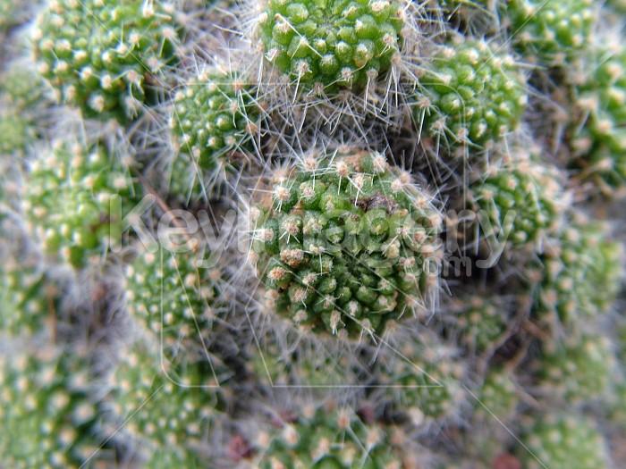 little cactus heads close up Photo #4385