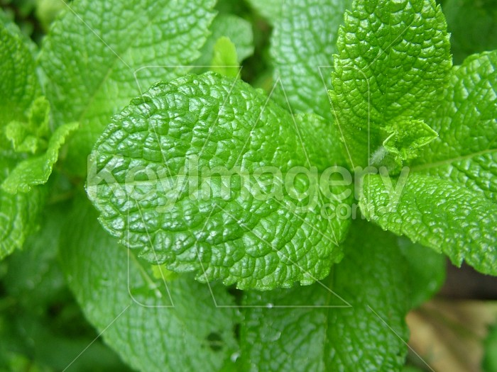 Many mint leaves Photo #7945
